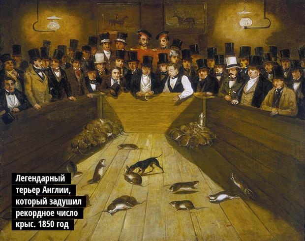 Легендарный терьер, который задушил рекордное число крыс