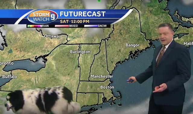 Фото №1 - Умильное ВИДЕО: собака случайно заходит в кадр во время прогноза погоды