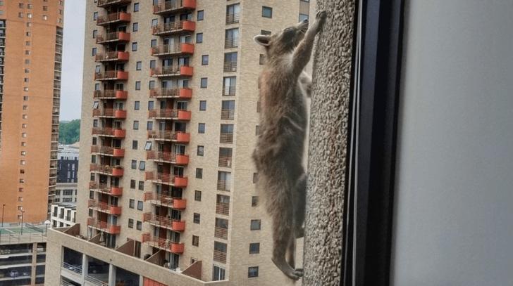 Фото №1 - Енот-паук: как отважное животное взбиралось на высотку
