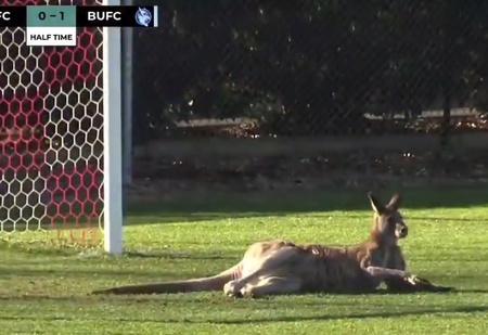 Футбол по-австралийски: на матч припрыгал кенгуру и встал на ворота (ВИДЕО)