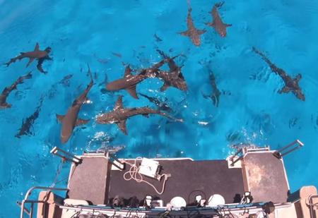 Может ли акула почувствовать каплю крови за несколько километров? Видеоэксперимент