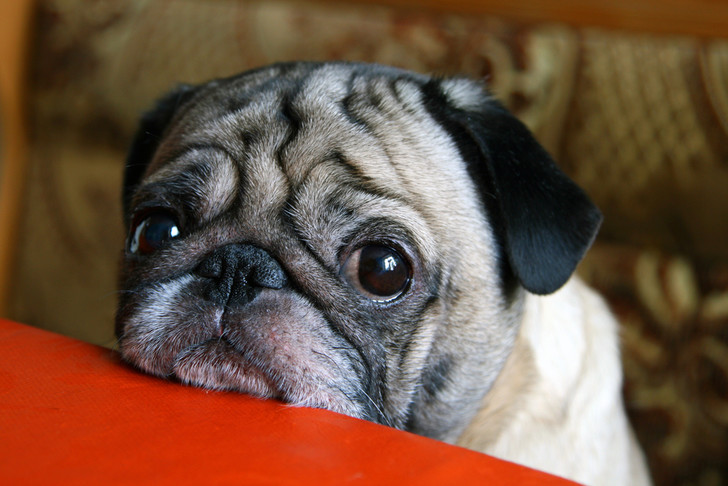 Фото №1 - Как в ходе эволюции собаки научились делать жалостливую морду