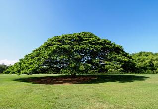 Знакомься: то самое дерево, которому компания Hitachi выплачивает пенсию