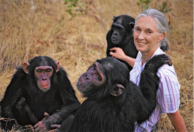 Джейн Гудолл и ее беспокойные шимпанзе
