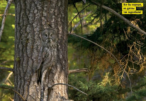 Большая серая сова