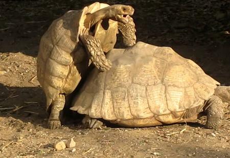 Самые неистовые ВИДЕО с черепахами, которые ты видел