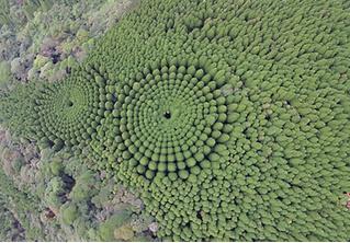 Ради эксперимента японцы потратили 50 лет, чтобы вырастить круглый лес