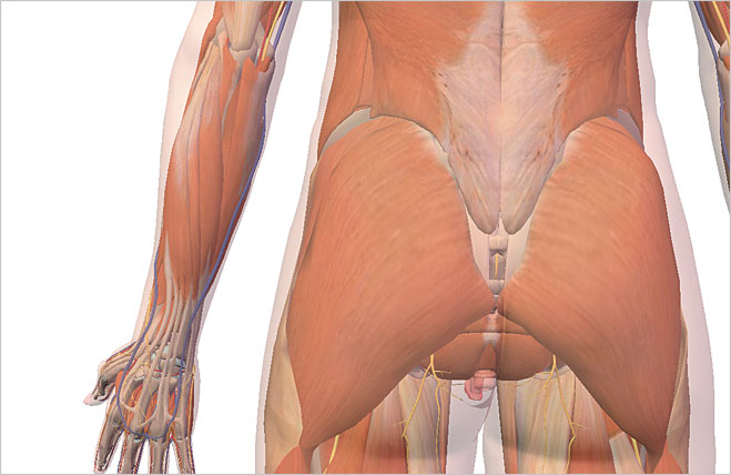 Musculus gluteus maximus