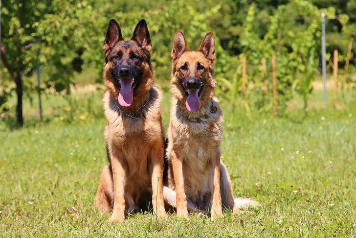 Фото №1 - В австралийском штате запрещают продавать породистых собак