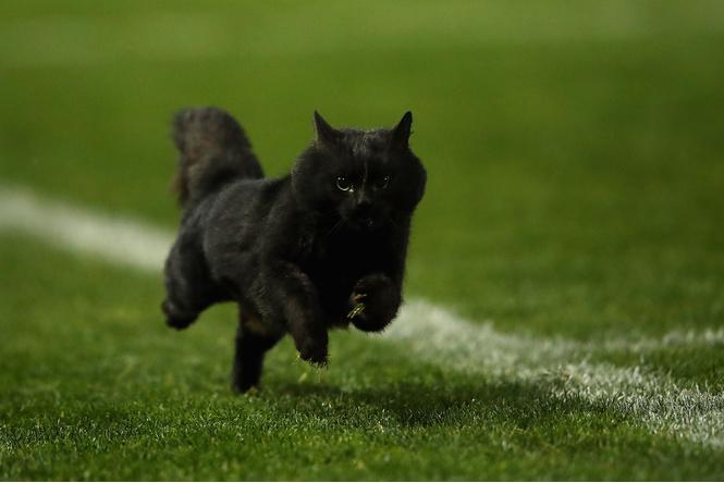 Черный кот на регби