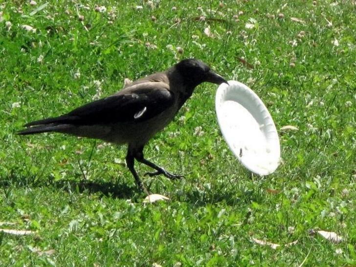 Фото №1 - Во французском парке воронов натренировали убирать мусор за людьми