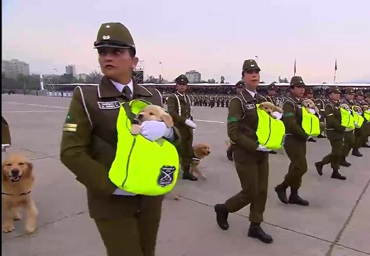 Фото №1 - В военном параде в Чили приняли участие лабрадоры в ботиночках и щенки в термосумках