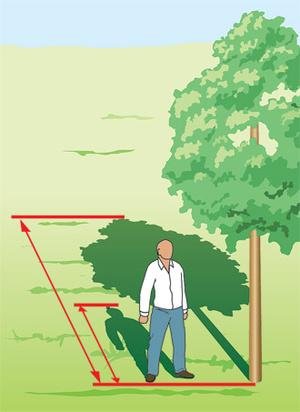 Фото №1 - Как измерить высоту дерева