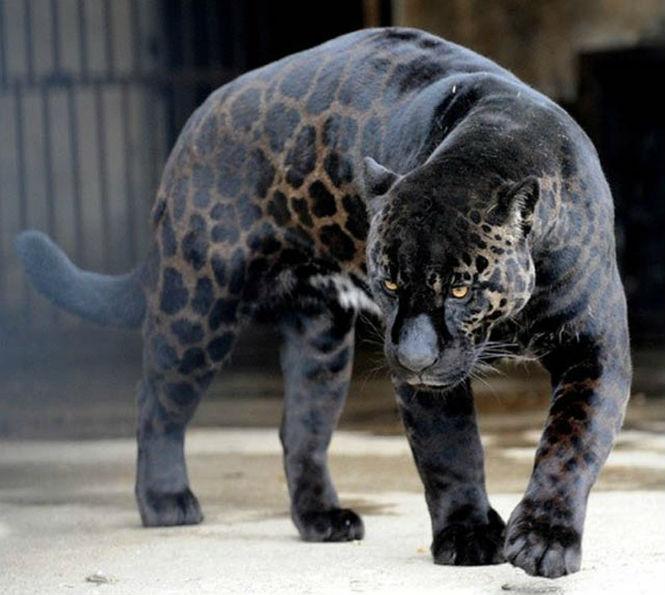 Фото №12 - 13 животных-гибридов, о существовании которых ты не подозревал