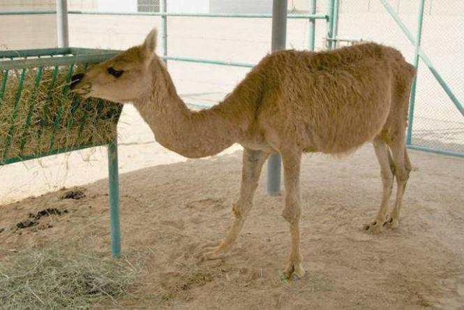 Фото №6 - 13 животных-гибридов, о существовании которых ты не подозревал