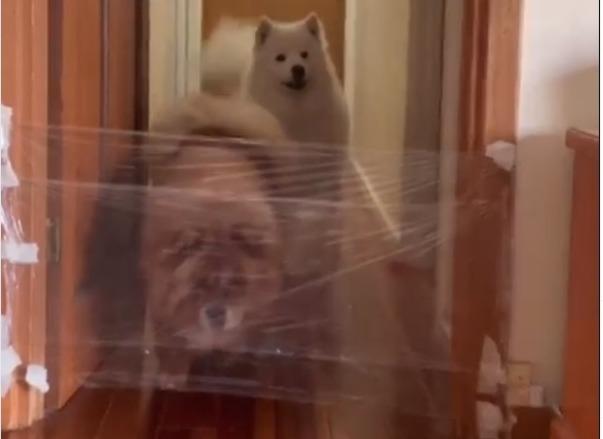 Фото №1 - Новый уморительный челлендж: хозяева троллят собак «пленкой-невидимкой» (лучшие видео)