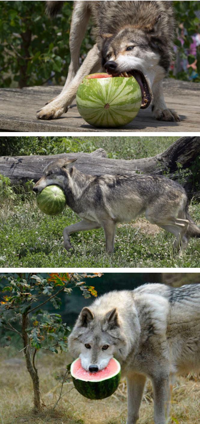 Фото №5 - 14 смертоносных животных, которые ведут себя, как будто они очаровательные котята