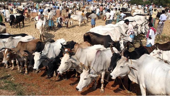 Индия раздаст коровам паспорта