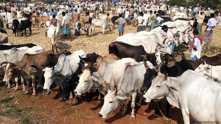 Фото №1 - Индия раздаст коровам паспорта
