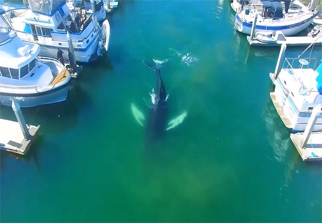 Фото №1 - Кит заплыл в тихую гавань и стал героем величественного видео